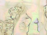 アワビ本舗 アワビシート -  中判 #カリフォルニア/ナチュラル 約80mm×140mm